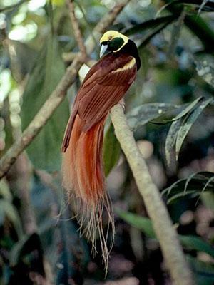 Chim Thiên Đường - Birds Of Paradise