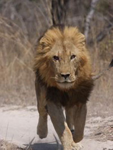 Đàn Sư Tử Khét Tiếng Nhất Châu Phi - Brothers In Blood: The Lions Of Sabi Sand